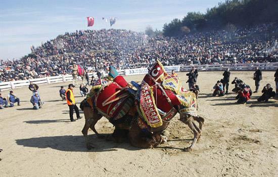 مسابقه دیدنی کشتی شترها در ترکیه (عکس)