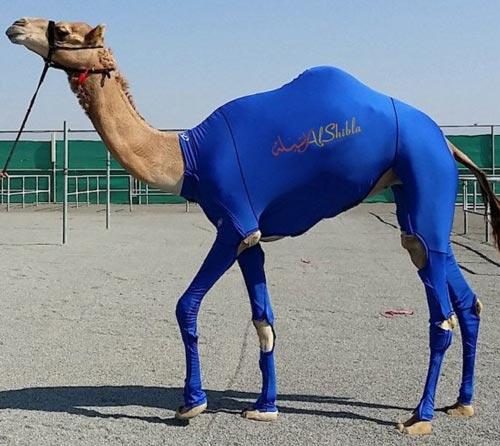 تولید لباس ورزشی برای شترها (عکس)
