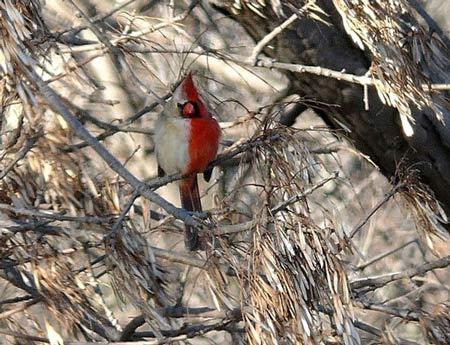 پرنده دو جنسه با ظاهری عجیب (عکس)