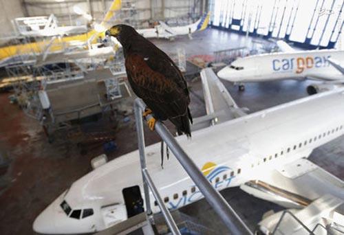 استفاده از شاهین برای حفاظت از فرودگاه (عکس)