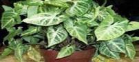 نحوه پرورش و نگهداری گیاه سینگونیوم