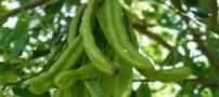 آشنایی با گیاه خرنوب و خواص آن