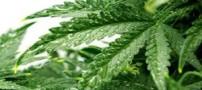 چندین دلیل برای مصرف گیاه شاهدانه