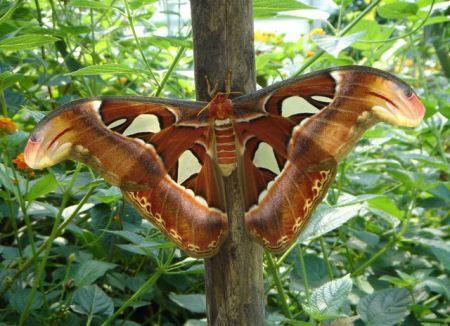 تصاویری از بزرگترین پروانه جهان