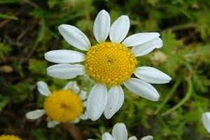 استفاده از گیاه بابونه برای رفع مشکلات پوستی