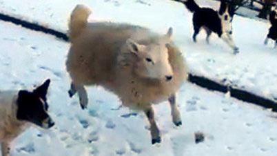 گوسفندی که فکر می کند سگ گله است! عکس