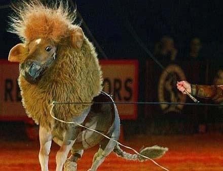 اسبی که به طرز جالبی شیر شد! عکس