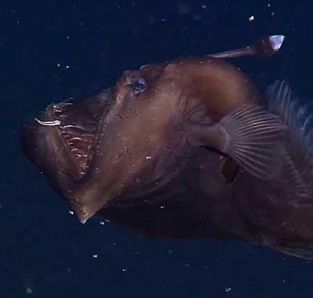 چهره خشن نادرترین ماهی اقیانوسی را دیده اید؟!