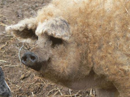 عکس های دیدنی نتیجه ازدواج خوک با گوسفند!!