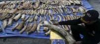قاچاق 4 تن شاخ فیل در گونی لوبیا (عکس)