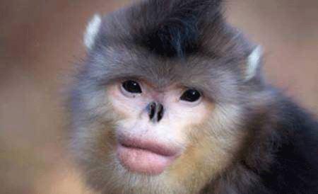 به نظر شما این میمون دیدنی جراحی کرده ؟ عکس
