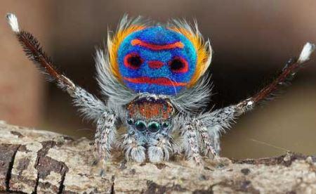 باورنکردنی از عنکبوت های طاووسی (عکس)