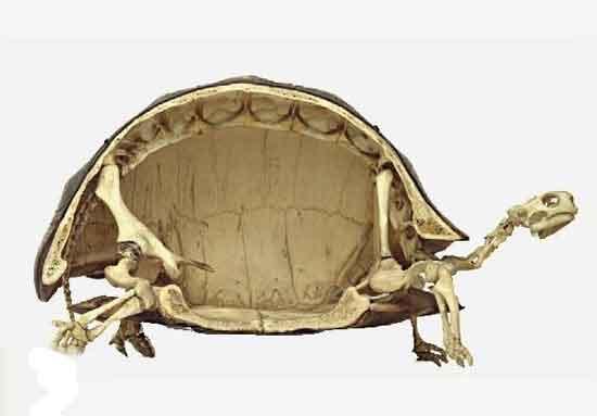 تا حالا اسکلت جالب لاک پشت را دیده اید؟ عکس