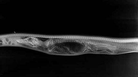 مراحل دیدنی هضم یک تمساح در شکم مار پیتون