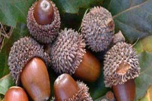 درمان این بیماری ها با میوه ی بلوط