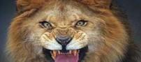 لحظه بسیار دیدنی و زیبا از خشم یک شیر (عکس)