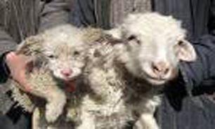 باورنکردنی از تولد توله سگ از یک گوسفند! (عکس)
