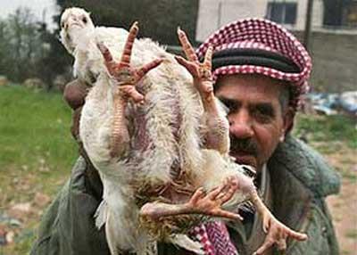 عجیب ترین مرغ دنیا با 4 دست و پا!! عکس