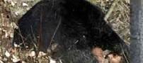 حمله وحشتناک خرس به جوان خوزستانی در ایذه (۱۶+)