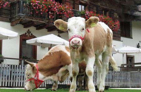 جراحی بی نظیر و زیبای یک گاو! عکس