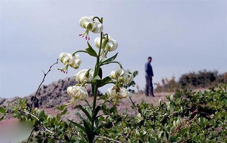 نادرترین گل جهان در گیلان گل داد (عکس)