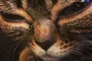 گربه ای که بخاطر چشمهایش معروف شد (عکس)