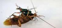 زنبوری که سوسک ها را به بردگی در می آورد! (عکس)