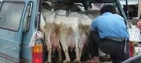 خنده دارترین روش فروش شیر (عکس)