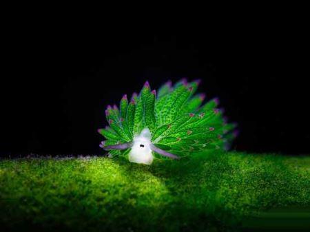 حلزون شگفت انگیز و زیبایی که فتوسنتز می کند! (عکس)