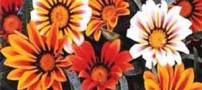 روش نگهداری از گل گازانیا