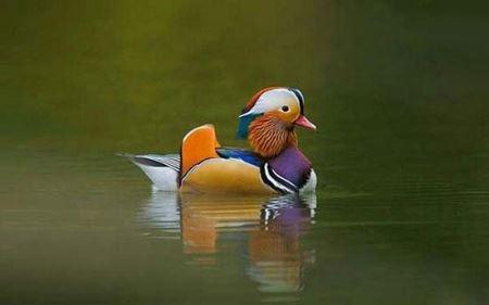 پرنده ای شگفت انگیز در شرق آسیا (عکس)