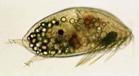 جانوری که در بدن خرچنگ زندگی می کند! (عکس)