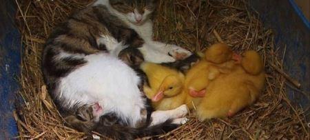 گربه ای که مادر بچه های جوجه اردک شده ! (عکس)