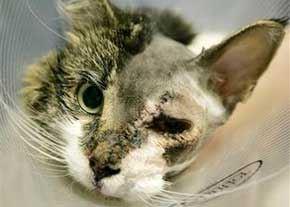 گربه ای که عمل زیبایی انجام داد ! (عکس)