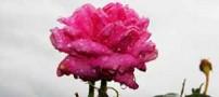 اطلاعات جالب و خواندنی درباره گلاب