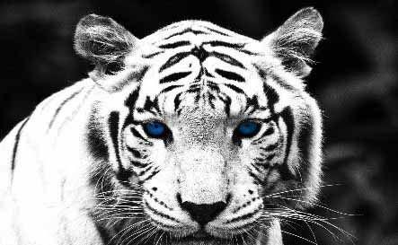 عکس های بسیار زیبا از ببرهای وحشی
