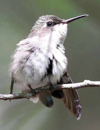 کوچکترین پرنده زیبای جهان شناسایی شد (عکس)