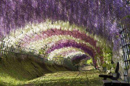 تونل رویایی و شگفت انگیز ویستریا (عکس)