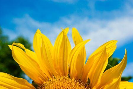 عکس های بسیار زیبا از گل های آفتابگردان