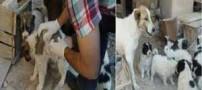 پدیده نادر در زایمان یک سگ در شیروان !
