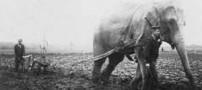 گزارش تصویری عجیب از شخم زدن زمین با فیل !