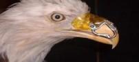جراحی عجیب یک عقاب ! (عکس)
