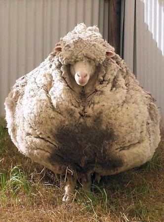 متفاوت ترین گوسفند جهان دیدن دارد (عکس)