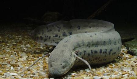 ماهی عجیبی که 5 سال بدون آب و غذا می خوابد !! (عکس)