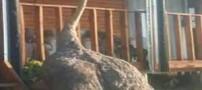 شترمرغی که فکر می کند سگ است (عکس)