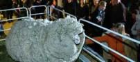 گوسفندی که با 20 لباس مردانه زندگی می کرد (عکس)