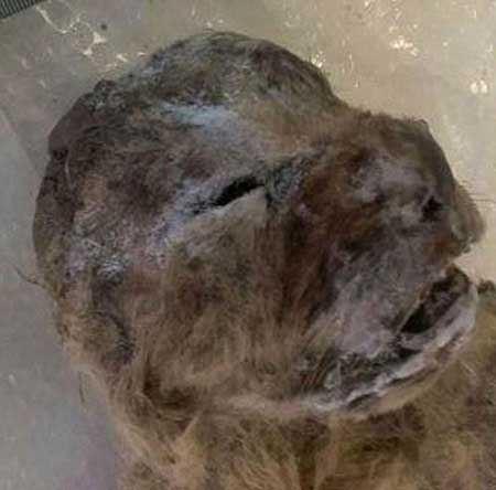 کشف باورنکردنی بقایای یک شیر (عکس)