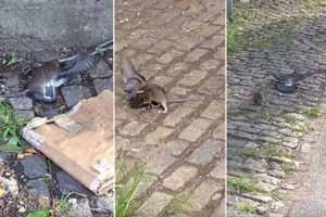 انتخاب بی رحم ترین موش دنیا در بروکلین! (عکس)