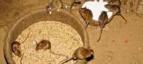 عکس های چندش آور عبادت موش ها در این روستا