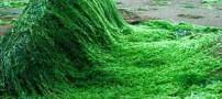 خواص جلبک سبز دریایی